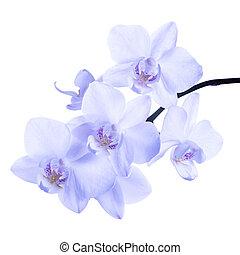 orhidea, orgona, elszigetelt, phalaenopsis, háttér, virágzó, gally, lágy