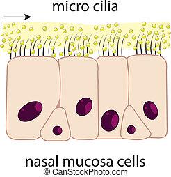 orrhang, mucosa