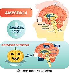 orvosi, vektor, amygdala, címkével ellátott, tervez, válasz, threat., ábra