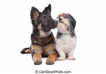 pásztor, német, fajta, kutya, nagy hím kenguru, kevert, kutyus