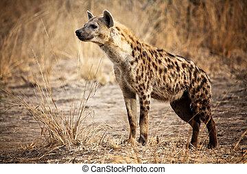 pöttyös hyena