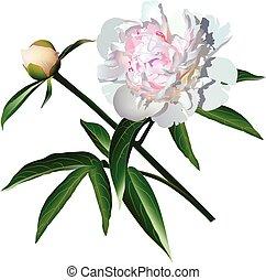 paeonia, white virág, photorealistic