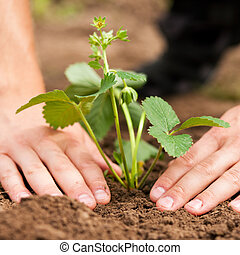 palántázás, földieprek, kert