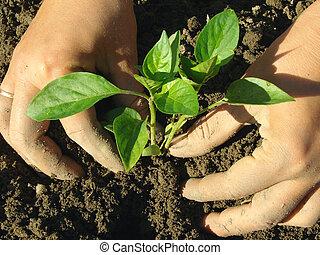palántázás, seedlings, bors