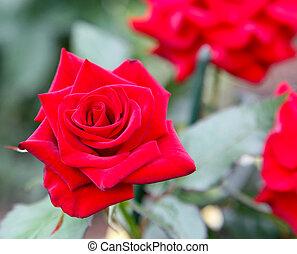 piros rózsa, klasszikus, nyár, virágzó, kert
