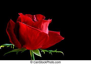 piros, rózsabimbó