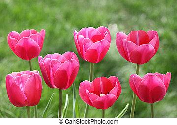 piros, tulipánok