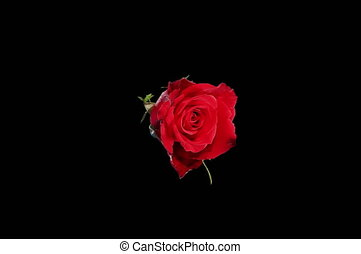 piros, virágzó, agancsrózsák, 4k.