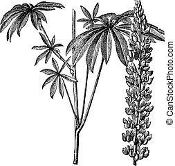 polyphyllus, metszés, szüret, vagy, farkaszszerű, large-leaved, lupinus