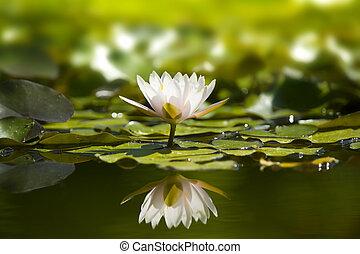pond., waterlily, természet, fehér