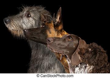 portré, csoport, kutyák, kilátás, lejtő, négy