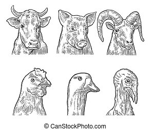 pulyka, gazdag koncentrátum, tehén, tanya, set., disznó, elszigetelt, csirke, liba, állatok, goat, ikon