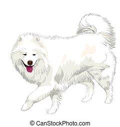 purebred, vektor, samoyed, kutya, mosoly