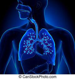 részletes, anatómia, -, alveo, tüdő