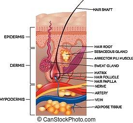 részletes, anatomy., illustration., orvosi, haj, címkével ellátott, bőr