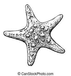 részletes, skicc, tengeri csillag, drawing., szüret, elszigetelt, ábra, kéz, háttér., vektor, fekete, húzott, fehér, mód