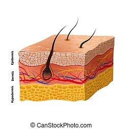 részletes, szerkezet, orvosi ábra, emberi bőr