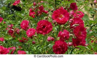 rózsa bozót, polyantha, piros, 4k