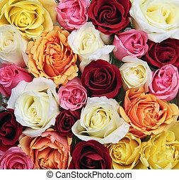 rózsa, háttér, kivirul