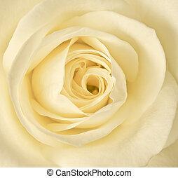 rózsa, kép, feláll, egyedülálló, becsuk, krém