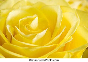 rózsa, kép, feláll, sárga, becsuk