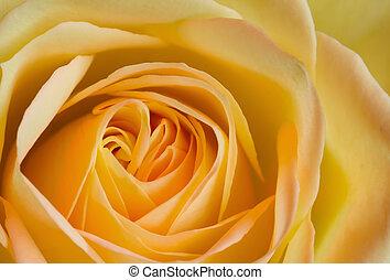 rózsa, kép, feláll, sárga, narancs, becsuk
