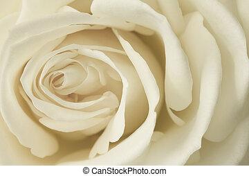 rózsa, kép, krém, feláll sűrű
