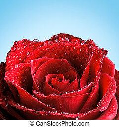 rózsa, piros, harmat