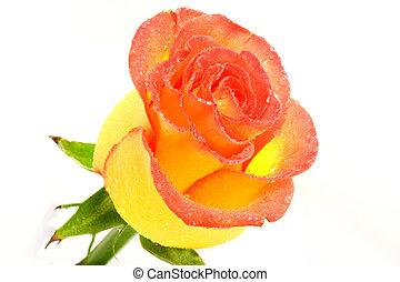 rózsa, sárga
