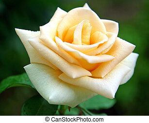 rózsa, savanyúcukorka, eső