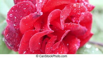 rózsa, virág kert, piros, 4k