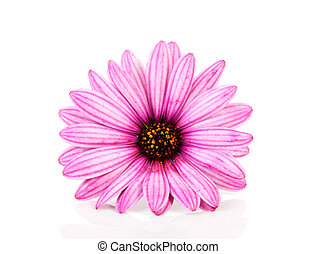rózsaszínű, closeup, százszorszép