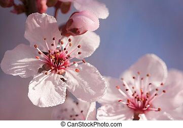 rózsaszínű, eredet, fa, kivirul