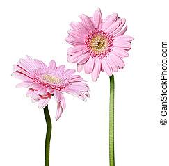 rózsaszínű, gerbera, menstruáció, két, százszorszép
