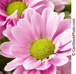 rózsaszínű, krizantémok, kép, feláll sűrű, csokor