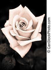 rózsaszínű, mód, rózsa, víz, gót, szüret, grungy, savanyúcukorka