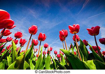rózsaszínű, németalföld, kivirul, tulipánok, tavasz, tanya