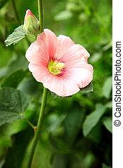 rózsaszínű, nyár, kert, papsajt