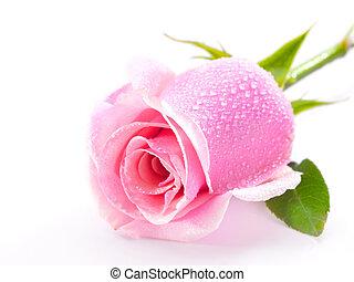 rózsaszínű rózsa, fehér, elszigetelt, háttér