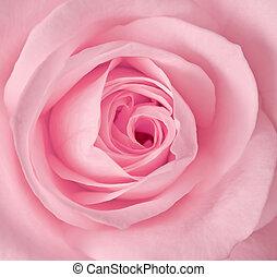 rózsaszínű rózsa, kép, feláll, egyedülálló, becsuk