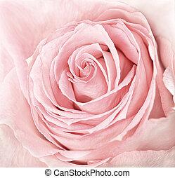 rózsaszínű rózsa, közelkép, friss