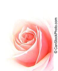 rózsaszínű rózsa, lágy