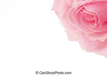 rózsaszínű rózsa