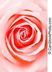 rózsaszínű rózsa, struktúra