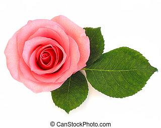 rózsaszínű rózsa, zöld lap, elszigetelt