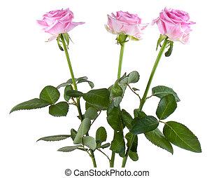 rózsaszínű, rózsaszínű, fehér, három, elszigetelt