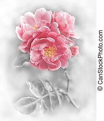 rózsaszínű, romantikus, elvont, agancsrózsák, flowers., háttér, virágos