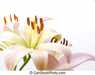 rózsaszínű, sápadt, kép, feláll sűrű, liliom
