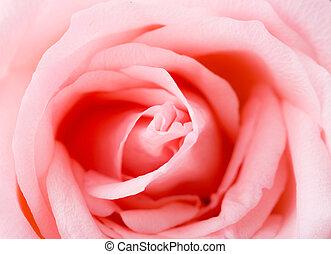 rózsaszínű, struktúra, rózsa