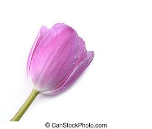 rózsaszínű, tulipán, elszigetelt